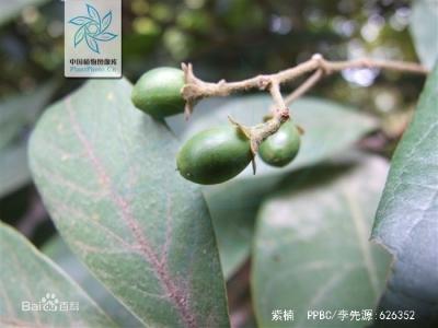 紫楠 树木 标本 标准 照片_02.jpg