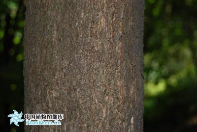 紫楠 树木 标本 标准 照片_07.jpg