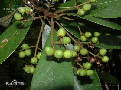 紫楠 树木 标本 标准 照片_11.jpg