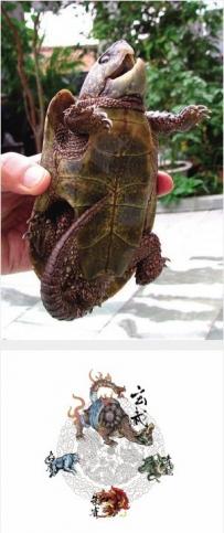 """重现-古鼋   """"大头鼋""""《山海经》里记载的""""旋龟"""""""